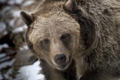 Grizzly Bear Lähikuvat Kuvituskuvat