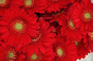 Stock Photo of just red gerberas