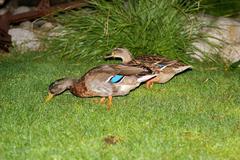 Ducks on the lawn. Stock Photos