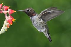 Annas hummingbird (calypte anna) Stock Photos
