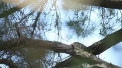 hawk plucking prey in tree - stock footage