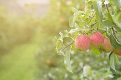 Apples on tree in apple orchard Stock Photos