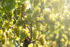 White grapes in the vineyard Stock Photos