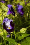 Violet torenia flower Stock Photos