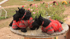 Two Scottish Terrier in overalls Stock Footage