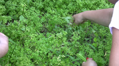 Female hand picking parsley outdoors Stock Footage