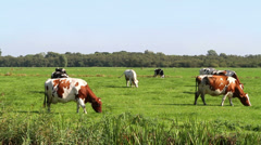 Cows Grazing Stock Footage