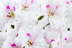 Stock Photo of geranium flower