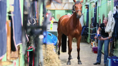 Woman scrubs neck of chestnut horse by brush in stable Stock Footage