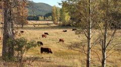 Coldwater River Valley Grazing Cattle Stock Footage