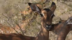 Three Impala with one Impala eating leaves and the other two cleaning each other Stock Footage