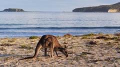 Kangaroo on beach Stock Footage