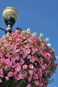 Pink petunias hanging basket Stock Photos