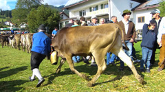 Cattle Livestock driving down Alps Oberstdorf Allgau Bavaria Germany - stock footage