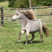 american miniature horse stallion running - stock photo