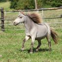American miniature horse stallion running Stock Photos