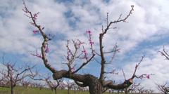 Spring peach blossom Stock Footage