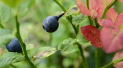 Blueberry Vaccinium myrtillus Stock Footage