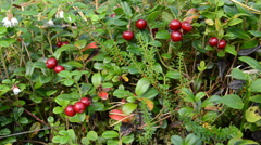 Lingonberry Stock Footage