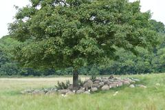 A flock of romney ewes in the shade Stock Photos