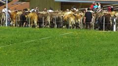 Stock Video Footage of Cattle Livestock driving down Alps Oberstdorf Allgau Bavaria Germany