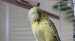 Budgie Bird Cleans Itself - stock footage