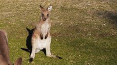 Cute young kangaroo Stock Footage