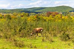 Cow grazing cow grazing in caucasian mountains Stock Photos