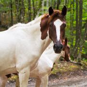 piebald horse on forest road - stock photo