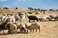 Flock of sheep grazing on autumn grass Stock Photos