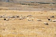 Flock of sheep grazing on mountail plateau Stock Photos