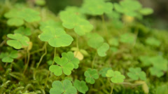 Wood sorrel (Oxalis acetosella) Stock Footage