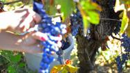 Stock Video Footage of autumn grape harvest, pan across wine grapes, ripening in a vineyard.