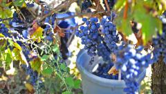 Grapes collected in a vineyard Stock Footage