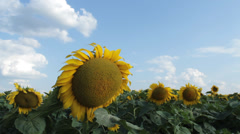 Sunflowers with sunny clouds, Tim Lapse Stock Footage