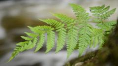 Fern (bracken) growing by river Stock Footage