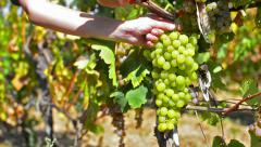 Grape harvest dolly shoot - stock video Stock Footage