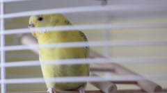 Little Parrot In Bird Cage Looking At Camera Stock Footage
