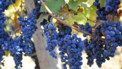 Hispanic harvesting wine grapes in vineyard - stock video Stock Footage