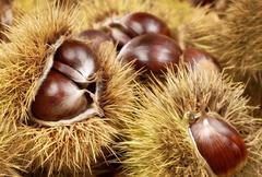 Fresh shiny chestnuts in husks Stock Photos