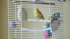 Parrot Budgi In Bird Cage Stock Footage