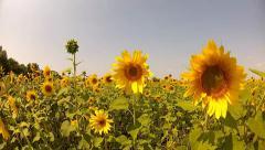 Walking through sunflowers field - stock footage