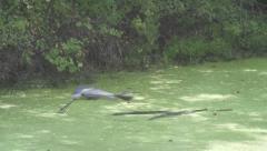 Blue Heron riisuu Fly Super Slow Motion 240fps Arkistovideo