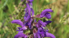 Salvia pratensis, Meadow Clary of Meadow Sage in bloom - close up Stock Footage