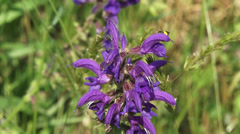 Salvia pratensis, Meadow Clary of Meadow Sage in bloom, insect crawling on top Stock Footage