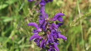 Stock Video Footage of Salvia pratensis, Meadow Clary of Meadow Sage in bloom, insect crawling on top