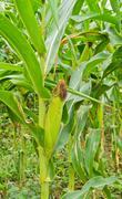 Corn on stalk Stock Photos