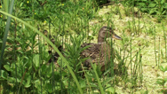 Stock Video Footage of Wild Duck female mallard - anas platyrhynchos with ducklings in peatland