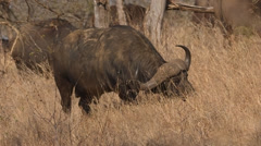 Buffalo standing and eating grass Stock Footage