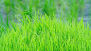 Stock Video Footage of Green grass with rice field in the background.